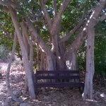 Bengaalse Ficus Nes Ammim